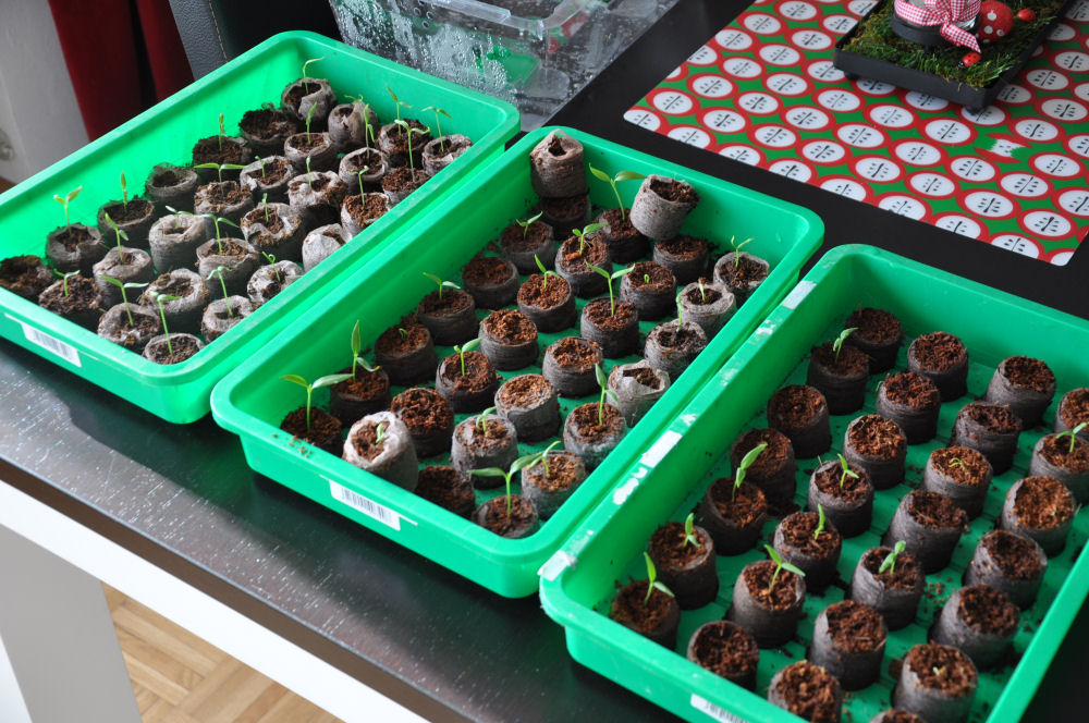 Chilizucht 2014 chilizucht-Chilizucht05-Chilizucht  – Tipps & Tricks zum Chilianbau