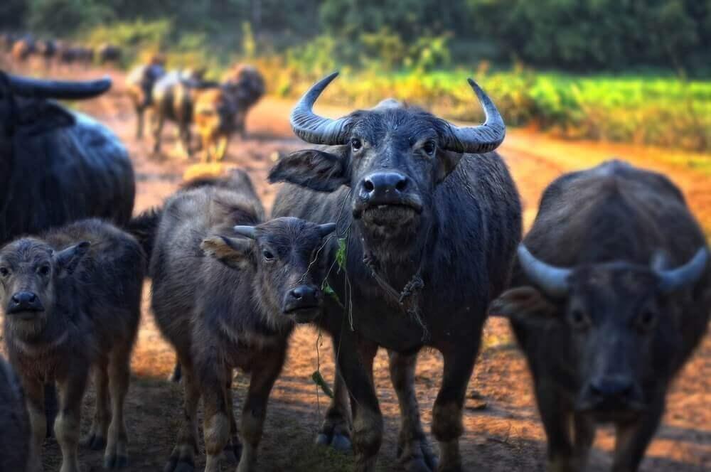 Wasserbüffel büffelfleisch-Bueffelfleisch Bueffel Bill 16-Büffelfleisch – Mehr als eine Alternative zu Rindfleisch? büffelfleisch-Bueffelfleisch Bueffel Bill 16-Büffelfleisch – Mehr als eine Alternative zu Rindfleisch?